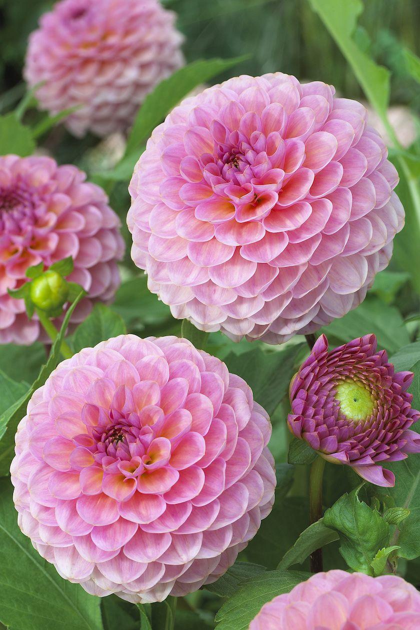 Miniature ball dahlia - Hamari Rose - Oh Darling....es ist eine Dahlie! • Blumen & Pflanzen Blog • 99Roots.com