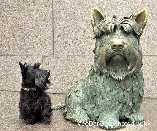 Scottie With Images Scottie Dog Scottish Terrier Dog Love