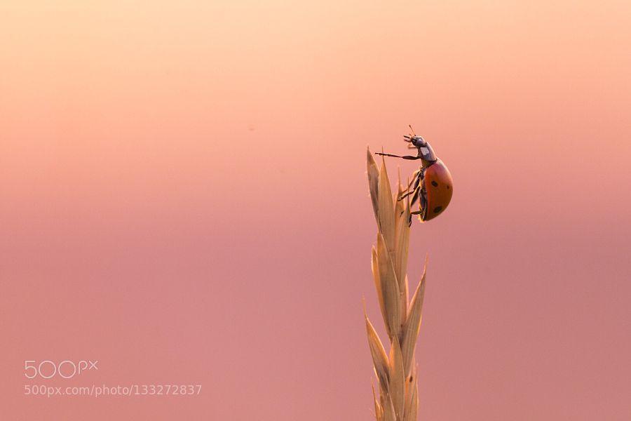 Ladybug II by TiberiuSahlean