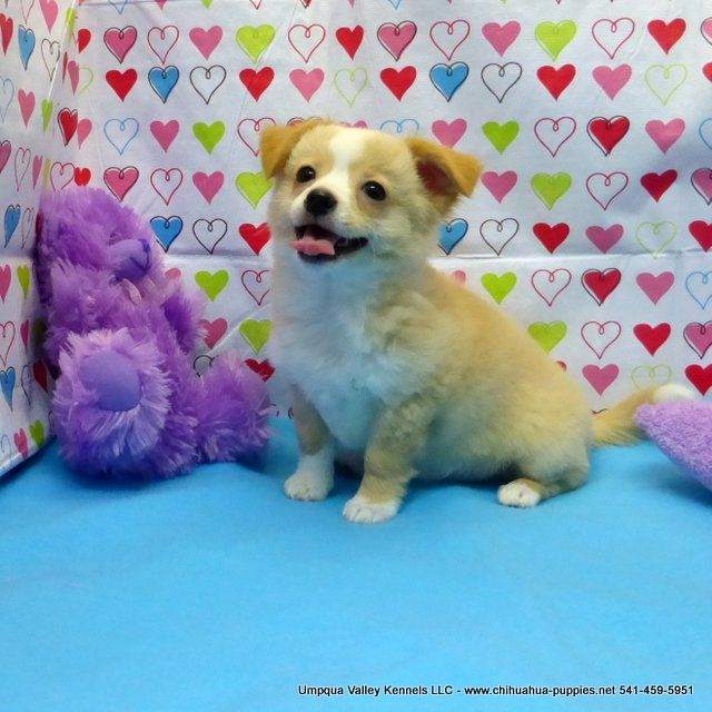 Chihuahua Puppies For Sale Chihuahua Breeder In Oregon