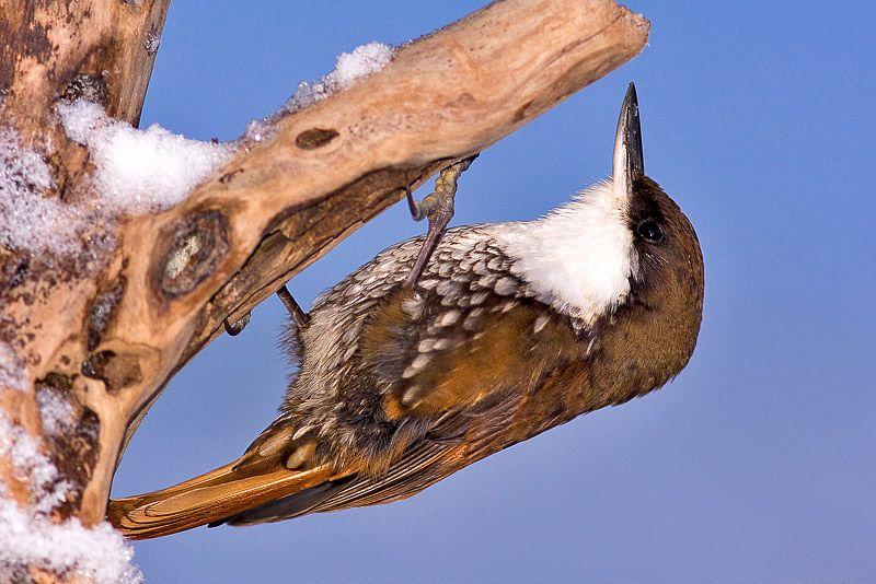 White-throated treerunner (Pygarrhichas albogularis) Birding Patagonia