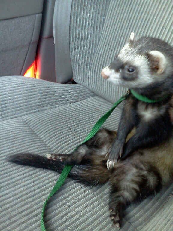 They Ll Be Patient While You Figure Out Directions Funny Ferrets Pet Ferret Baby Ferrets