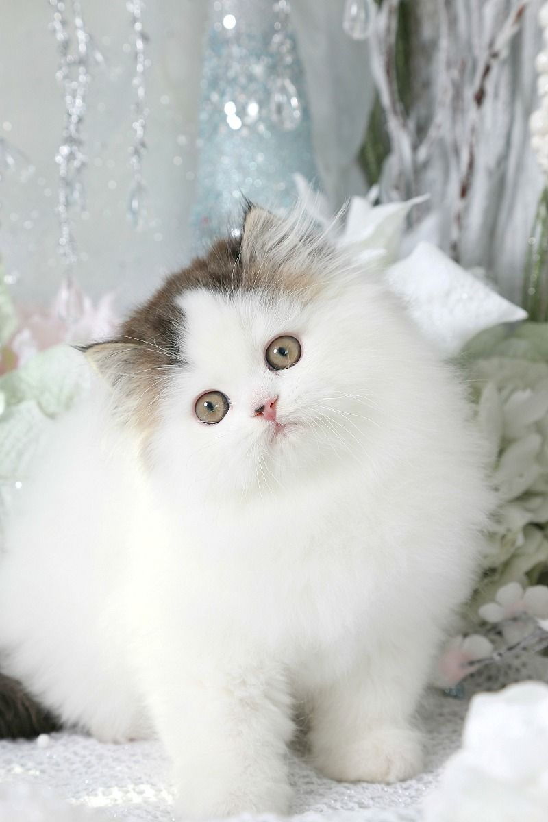 Golden White Bicolor Persian Kittens Persian Kittens Cute Cats And Dogs Kittens