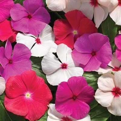 Vinca Cora Cascade Mix Flower Seeds Annual Flowers Flowers