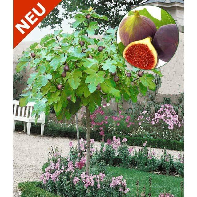 die besten 25 feigenbaum pflanzen ideen auf pinterest feigenbaum ficus und eckregal outdoor. Black Bedroom Furniture Sets. Home Design Ideas