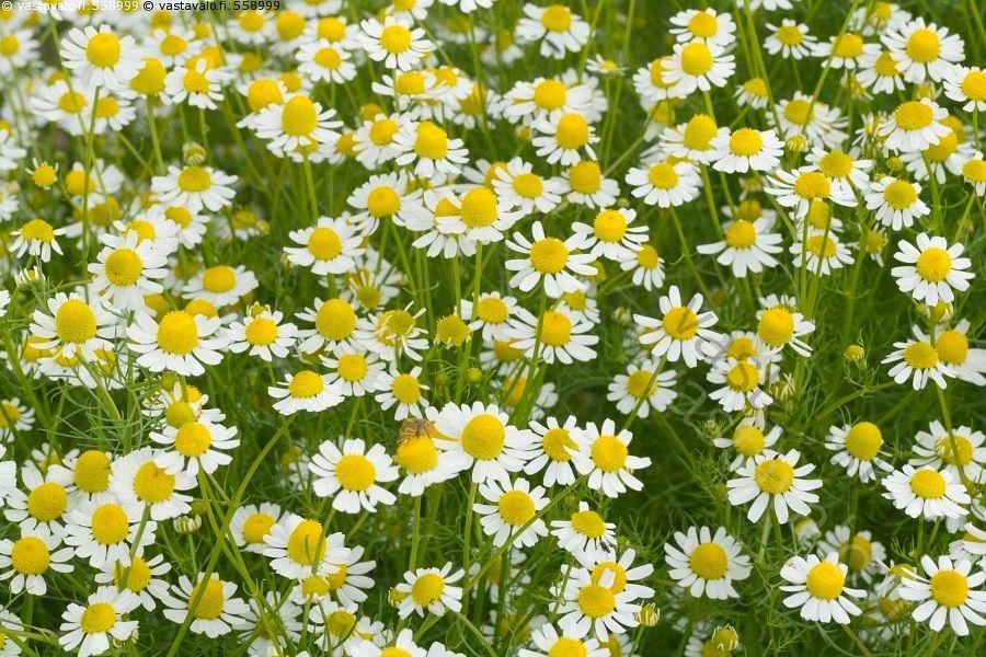 Kamomilla - kamomilla kukat kukka pieni valkoinen kukinto Matricaria chamomilla…