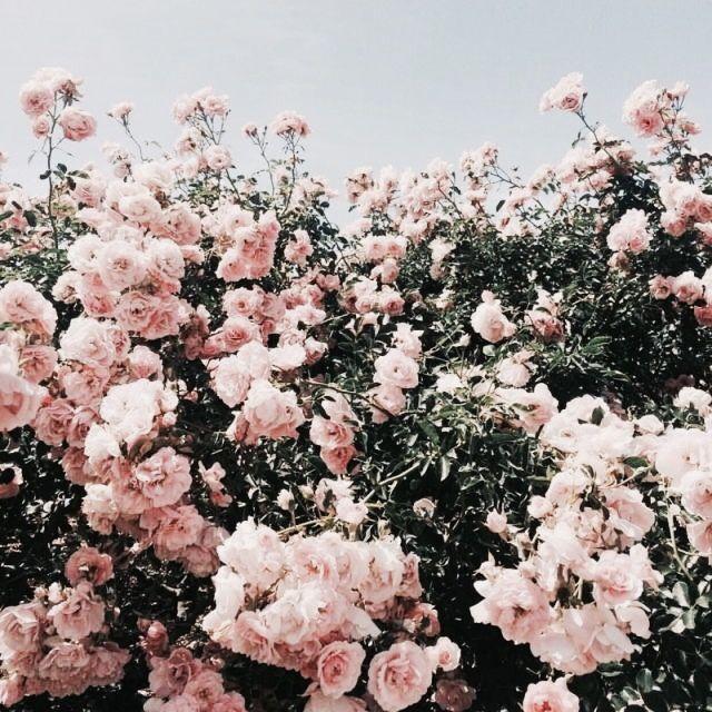 Blush Pink Roses Aesthetic
