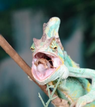 12389dc1edf20894d39c60a00ab56bf4 - How To Get A Chameleon To Open Its Mouth