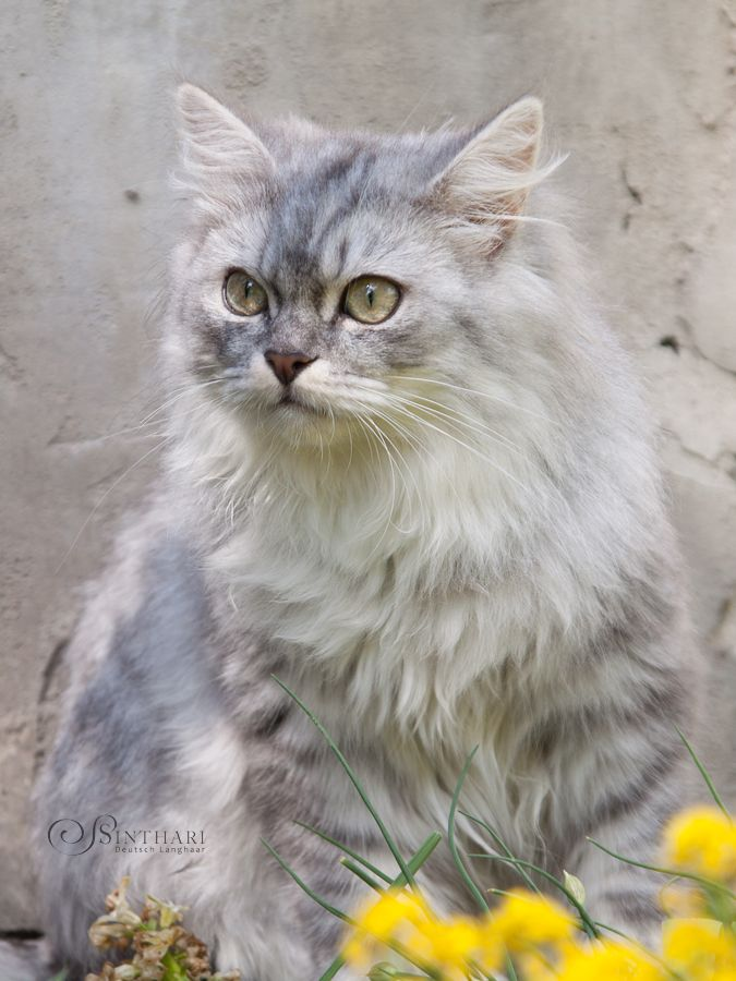 German Longhair In Blue Silver Tabby White Serious Cat Cats Tabby Cat