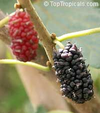 Produces berries from July to September. Exotic mulberries are easy to grow. A beautiful ornamental bearing sweet, juicy fruit. Tastes like ...