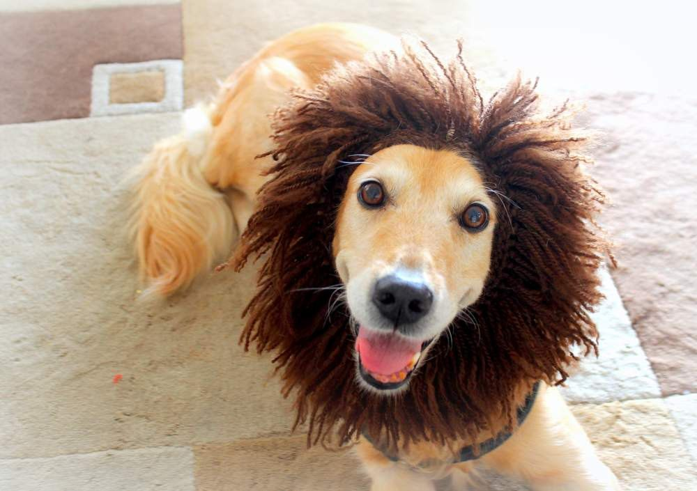 dog hat lion hat for dogs dog lion hat dog costume lion costume for dogs dog lion costume lion mane for dogs large breed dog costume pinned by