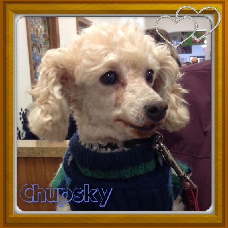 Adopt chep on petfinder poodle mix poodle dog animal