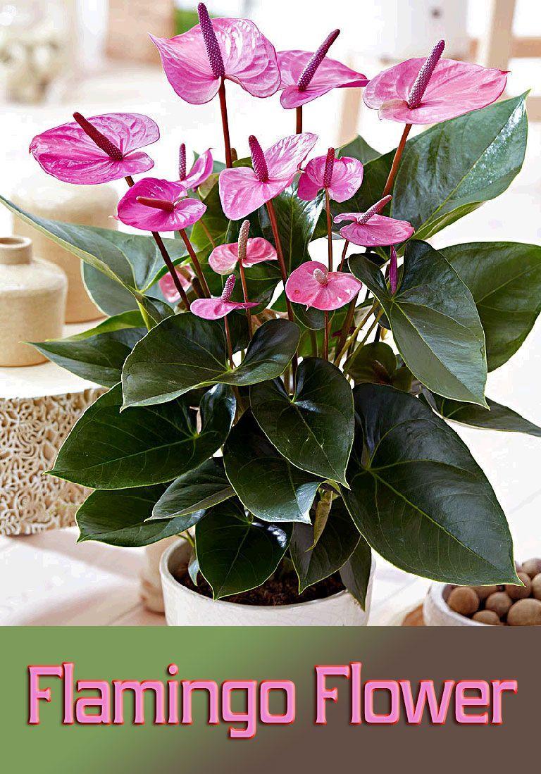 Flamingo Flower Info Care And More Plantas En Maceta Flores Bonitas Plantas Bonitas