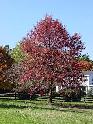Black Gum Tree Ontario