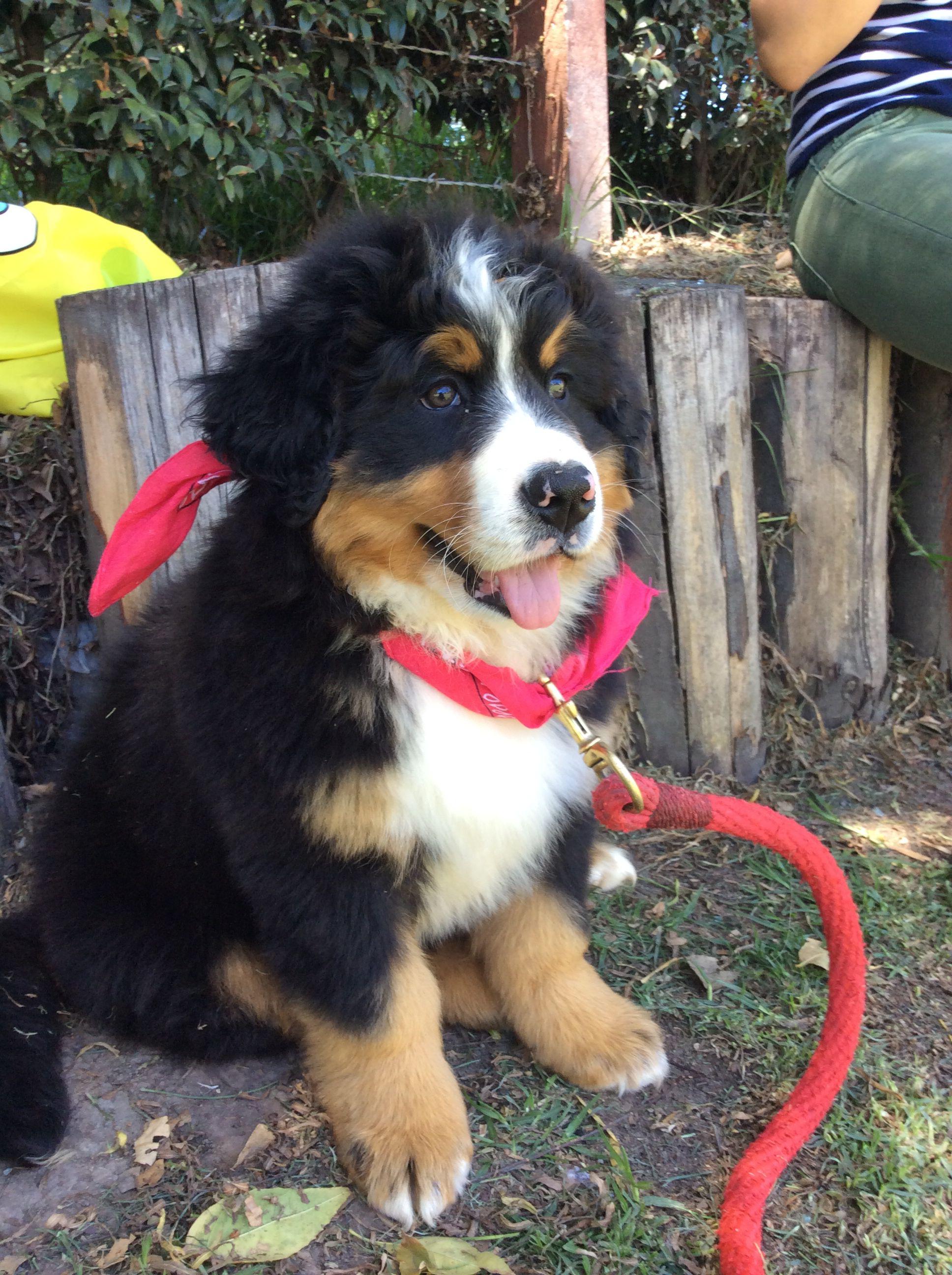 Puppy #bernerpuppy