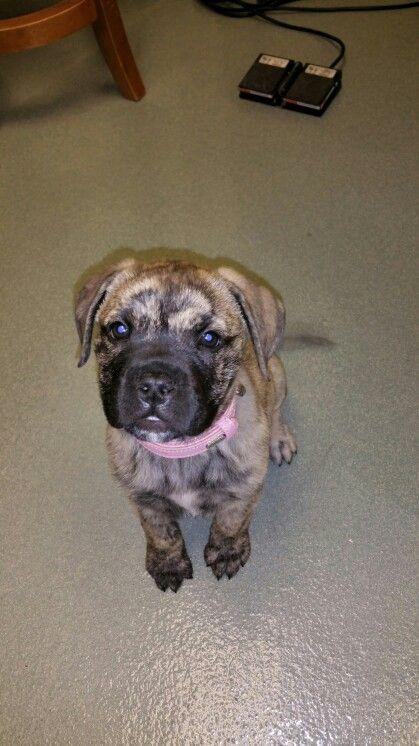 Delilah 10 Weeks Old 10 8 Lbs Pretty Bullmastiff Bull Mastiff