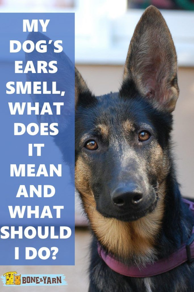My Dog's Ears Smell What Does It Mean and What Should I