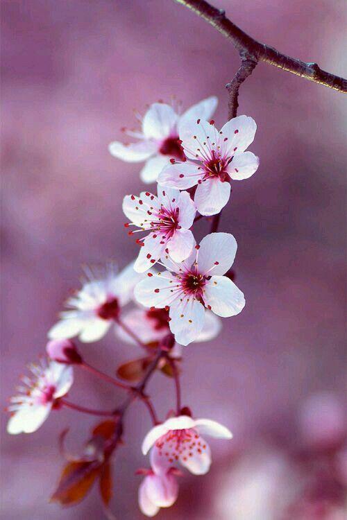 Sakura Cherry Blossom Beautiful Flowers Flowers Blossom Flower