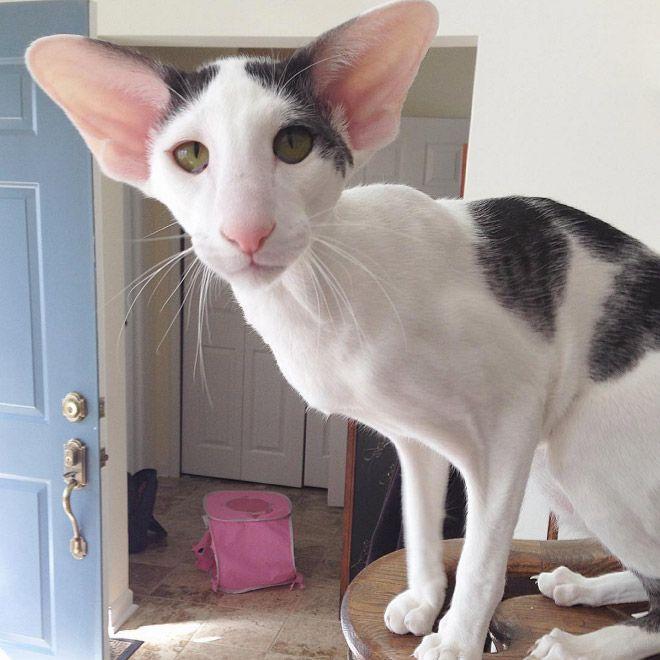 Meet Teddy Aka Dobby Cat Gato Sphynx Animais De Estimacao Sphynx