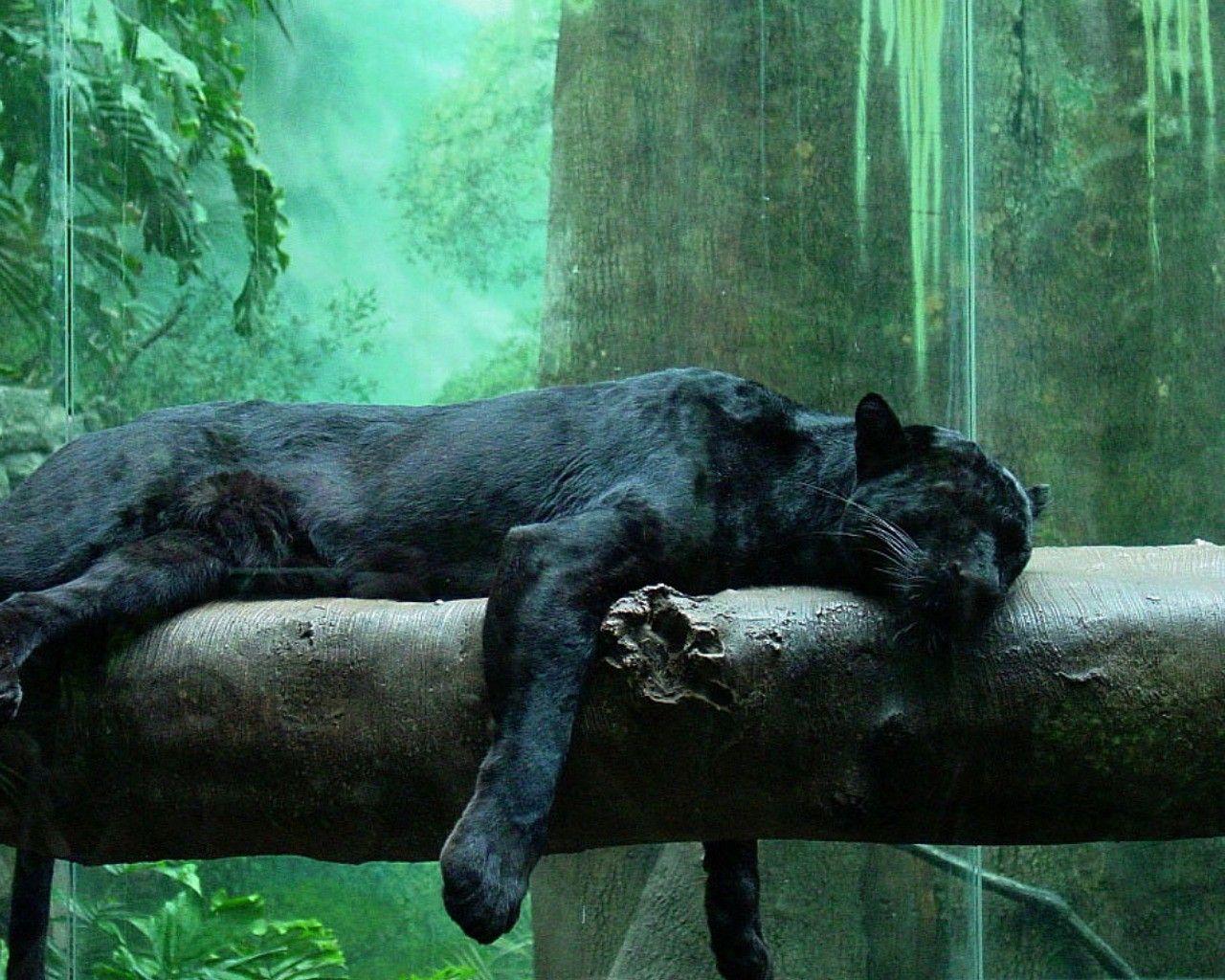 Black Panther Animal Wallpapers: Cute Black Panther HD Wallpapers