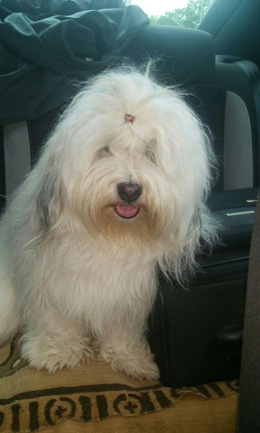 Pin by valerie shampine on dogs heavenly havanese pinterest dog