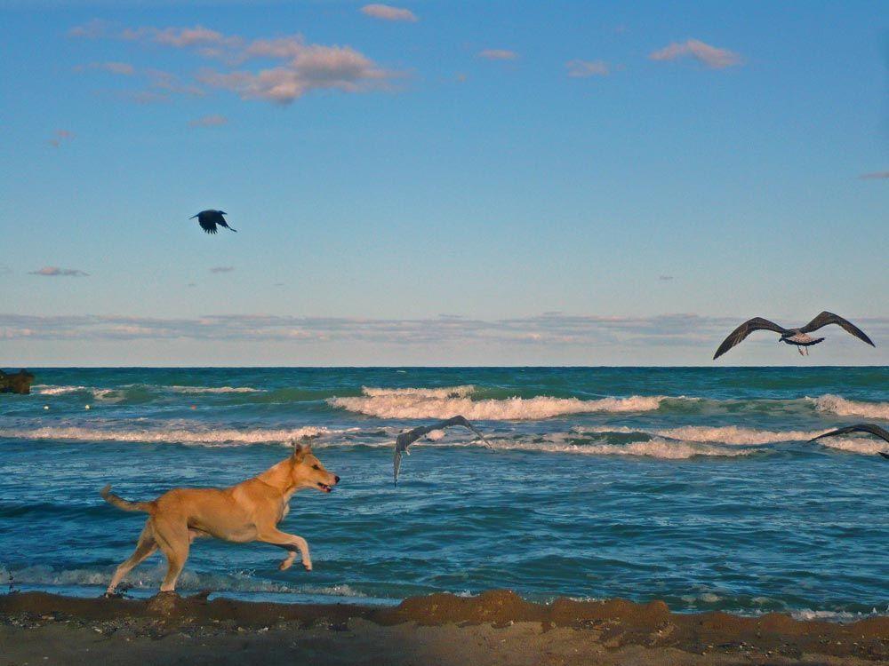 Black Sea, Romania - Dog Chasing Seagulls on the Beach
