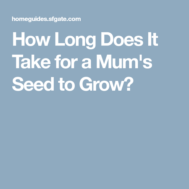 How Long Does It Take for a Mum's Seed to Grow? | Mum ...