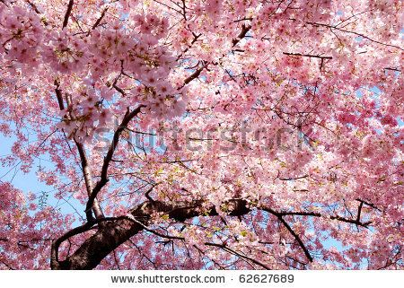 Pin By Preeti Sejwal On Pink Cherry Blossom Background Cherry Blossom Tree Flowering Cherry Tree