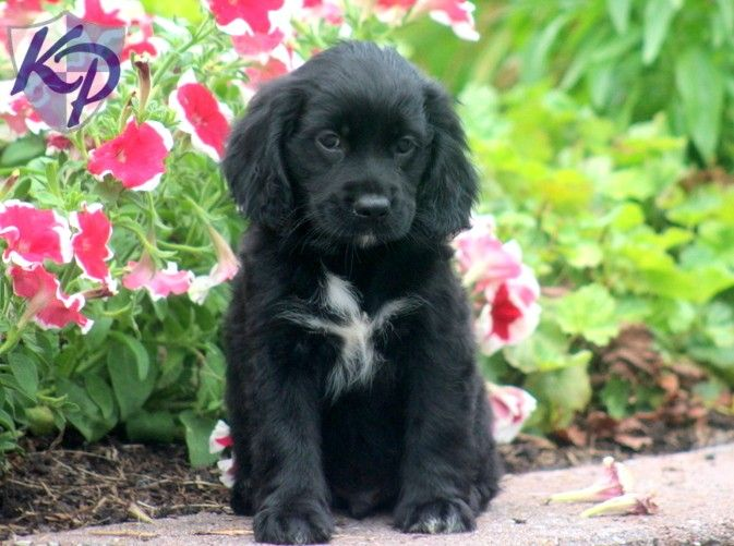 Puppy Finder Find Buy A Dog Today By Using Our Petfinder Cocker Spaniel Mix Black Cocker Spaniel White Cocker Spaniel