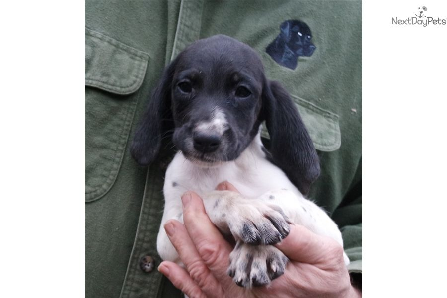 Deuce german shorthaired pointer puppy for sale near