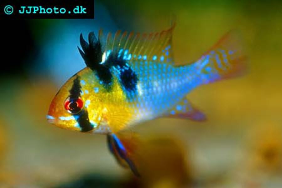 German Blue Ram Breeds Fish Pet Animals