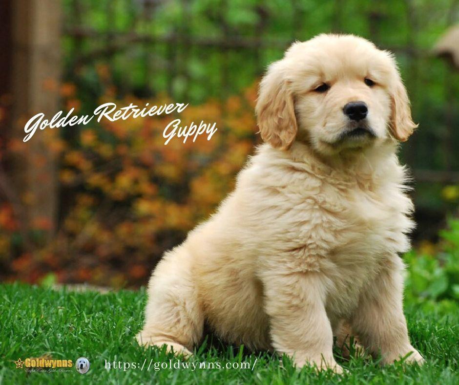 Love your golden!...best puppy ever!!!💝 Golden retriever