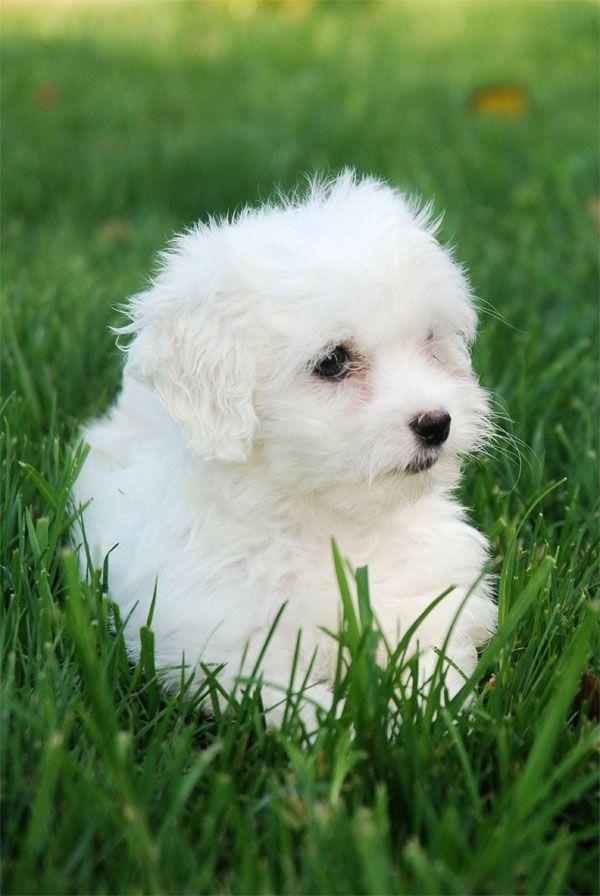 Bichon Maltes Opawz Com Supply Pet Hair Dye Pet Hair Chalk Pet