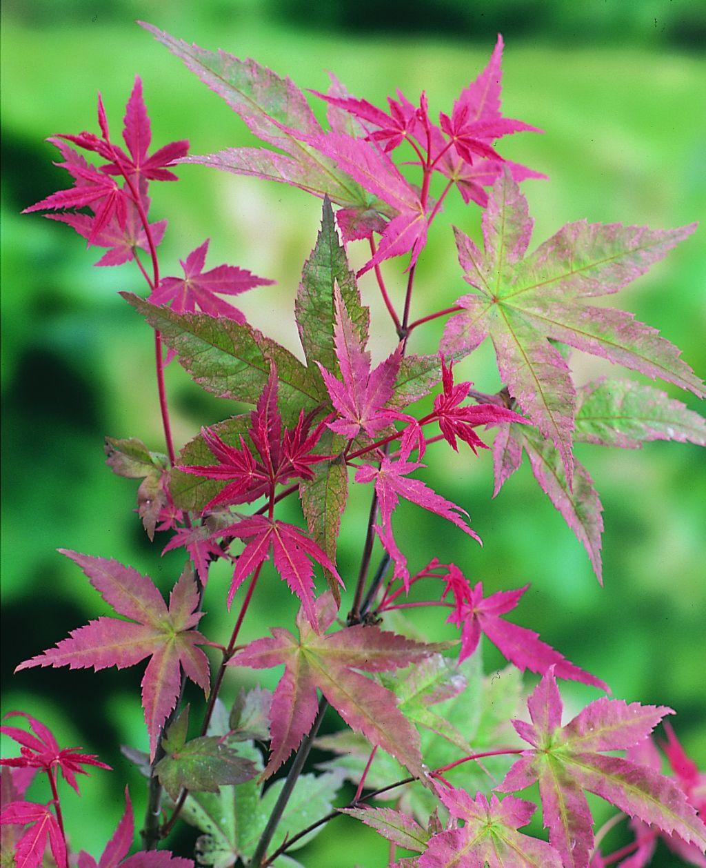 Beni Maiko Japanese Maple