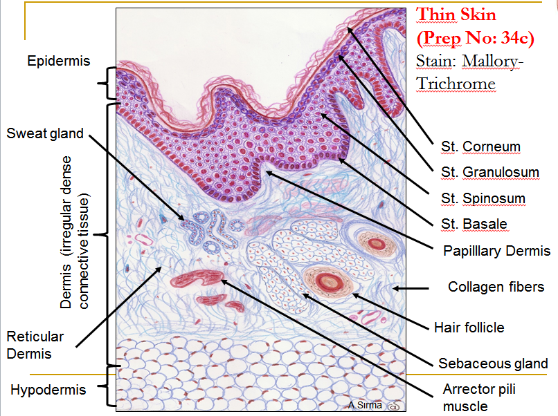 Histology Of Skin | Anatomy and physiology | Pinterest | Med school