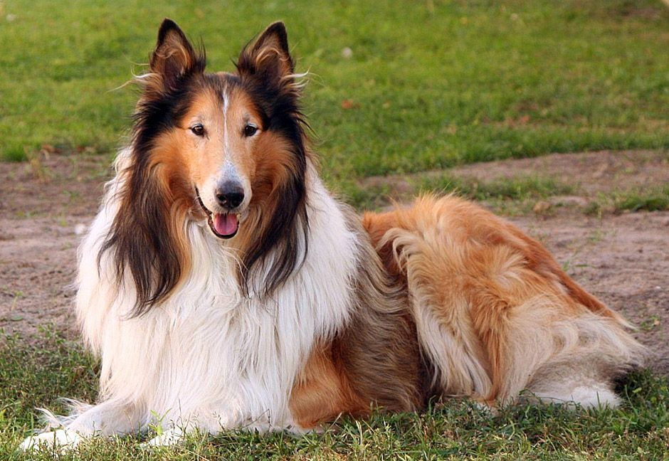 Collie Dog Breed Beautiful Furry Friends 6 Quiet Dog Breeds