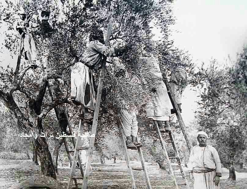Olive Harvest 1930 - Palestine