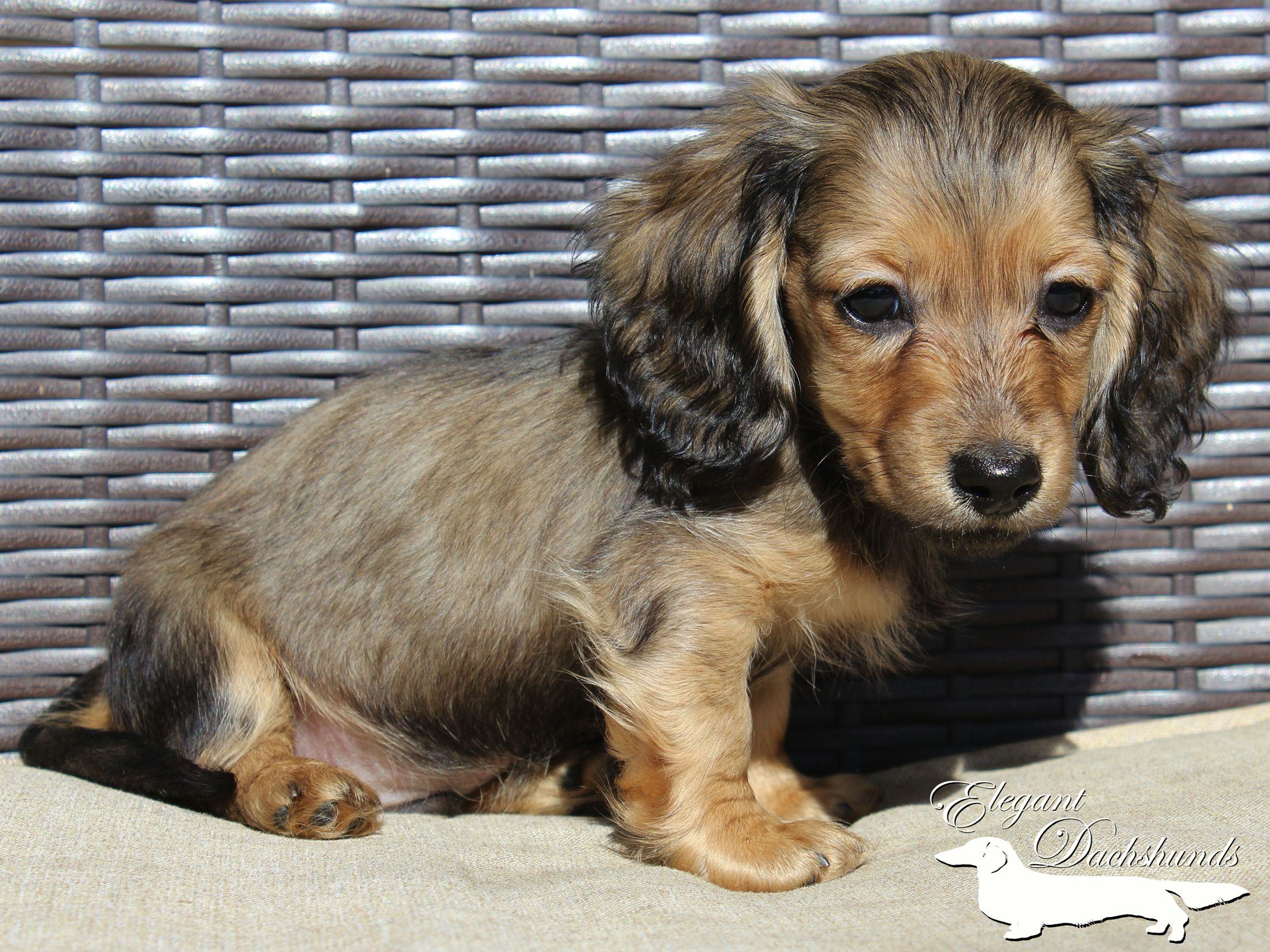 Shaded English Cream Dapple Dachshund By Elegant Dachshunds