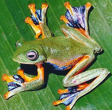 Asian flying frogs