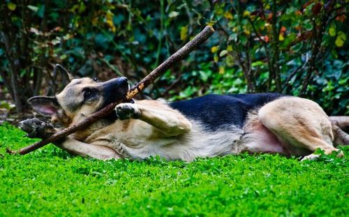 german shepherd dog playing the stick german shepherds 3 pinterest we the o 39 jays and the. Black Bedroom Furniture Sets. Home Design Ideas