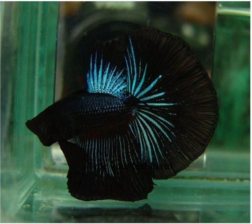 Black Halfmoon male, Great form - SomethingZ Fishy ...