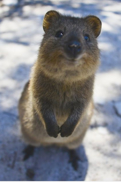 How cute can you get? The quokka pushes the limits ...