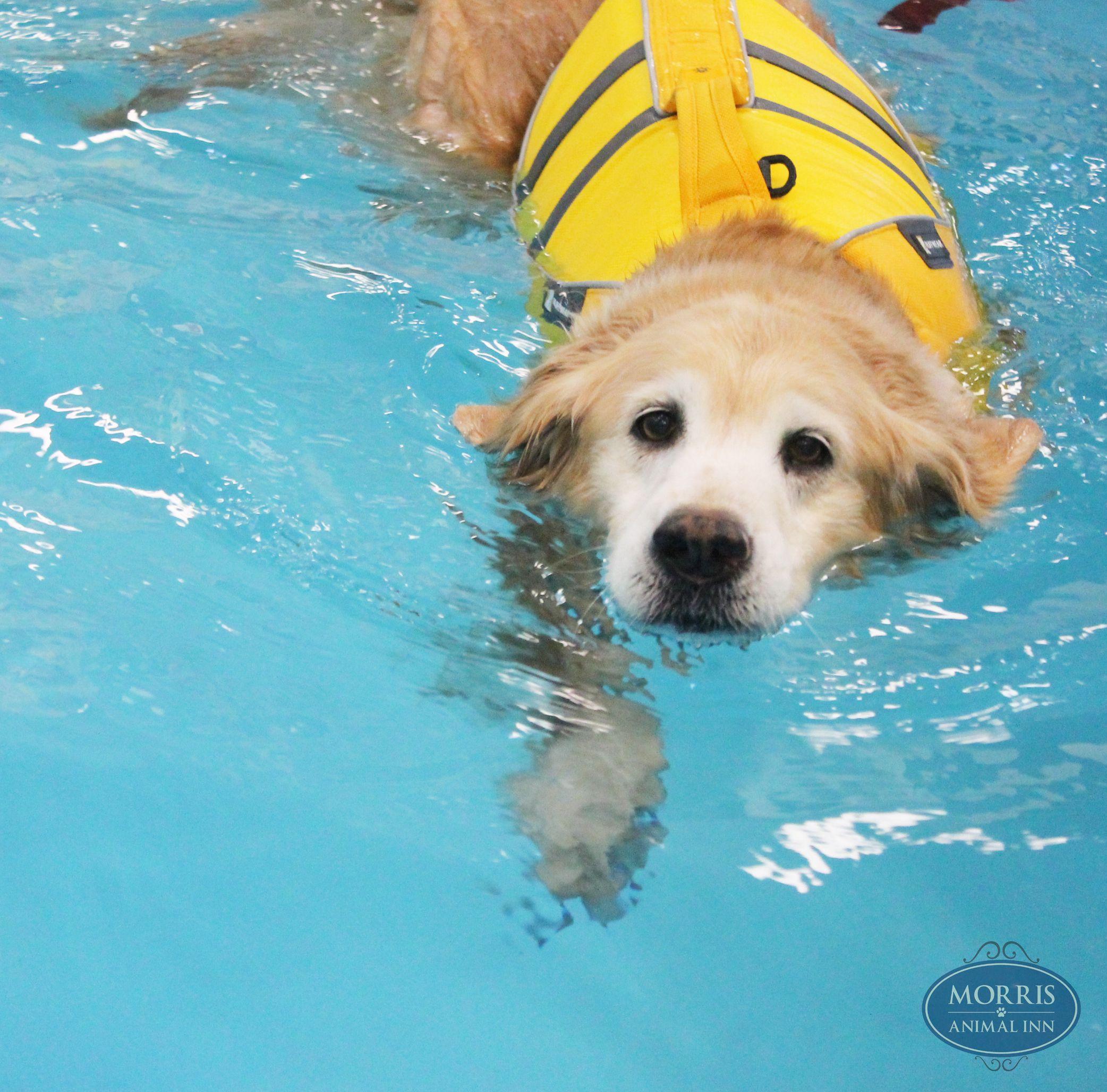 10 Year Old Golden Retriever Madison Loves To Swim In Our Indoor Pool Old Golden Retriever Golden Retriever Retriever