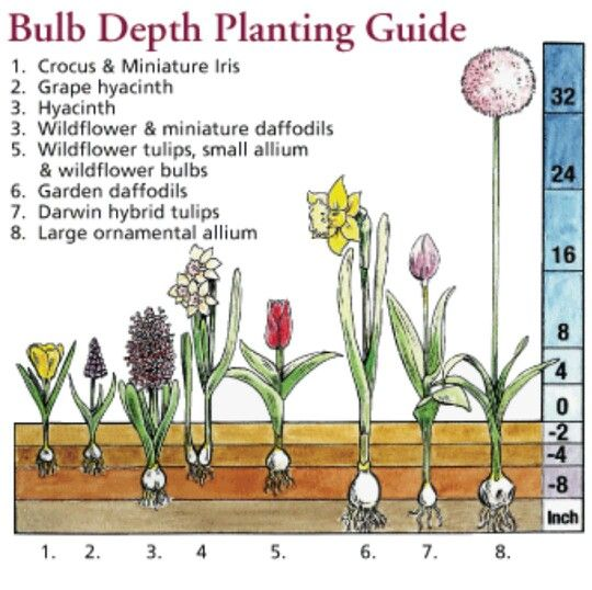 When To Plant Flowerbulbs Lilies Tulips Depth Distance Shade Sun Planting Schedule List When To Plant Bulbs Planting Bulbs Planting Tulips