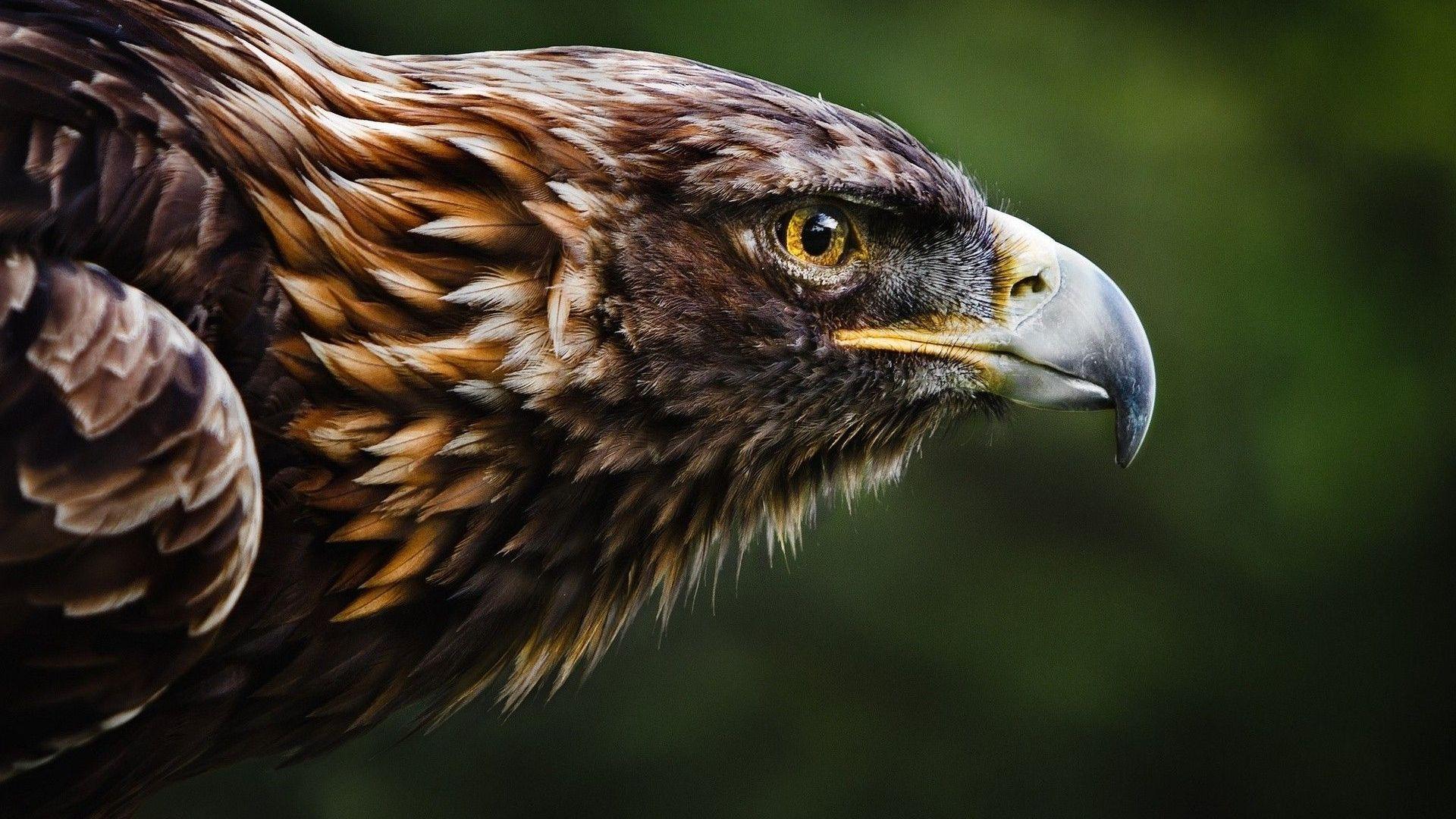 Fond D Ecran Hd Gratuit Pour Votre Ordinateur Eagle Wallpaper Eagle Images Pet Birds