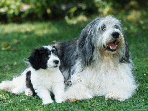Polish Lowland Sheepdog With Puppy Photographic Print By Petra
