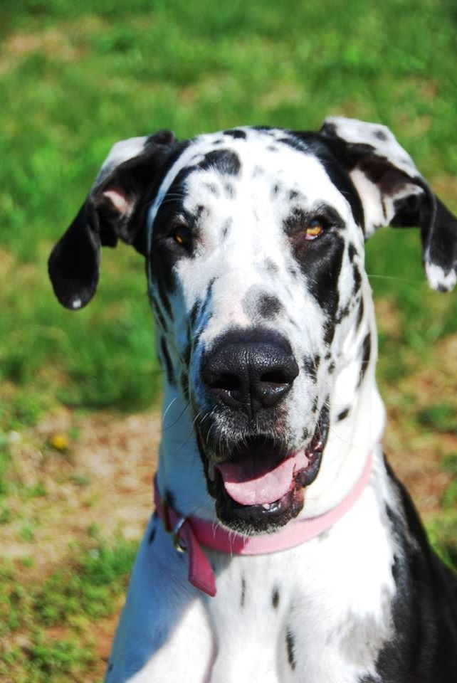 Adopt Mercy On Great Dane Funny Great Dane Facts Great Dane Dogs