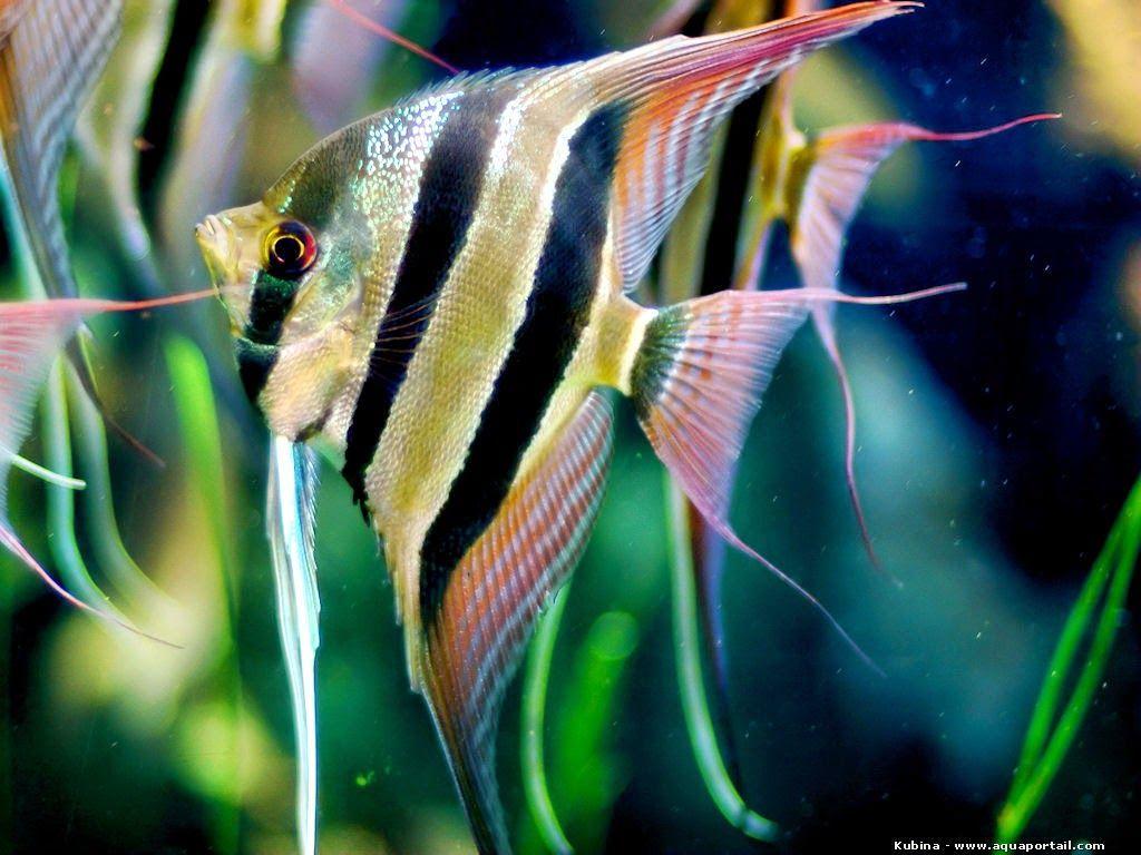 Pterophyllum Altum Angel Fish Tropical Freshwater Fish Aquarium Fish