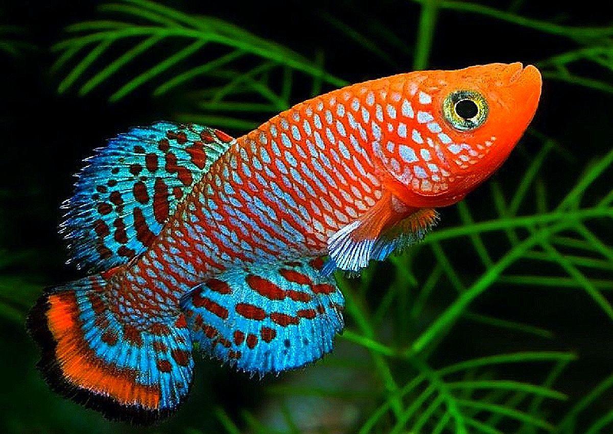 Tropical Fish De Nothobranchius Rachovi In 2021 Ikan Hias Air Tawar Aquarium Fish Tank Ikan Hias