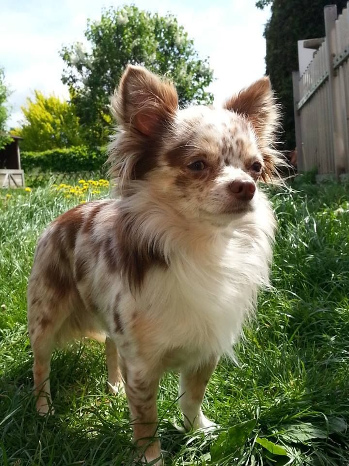 Look At This Beauty Chihuahua Dogs Puppies Merle Chihuahua